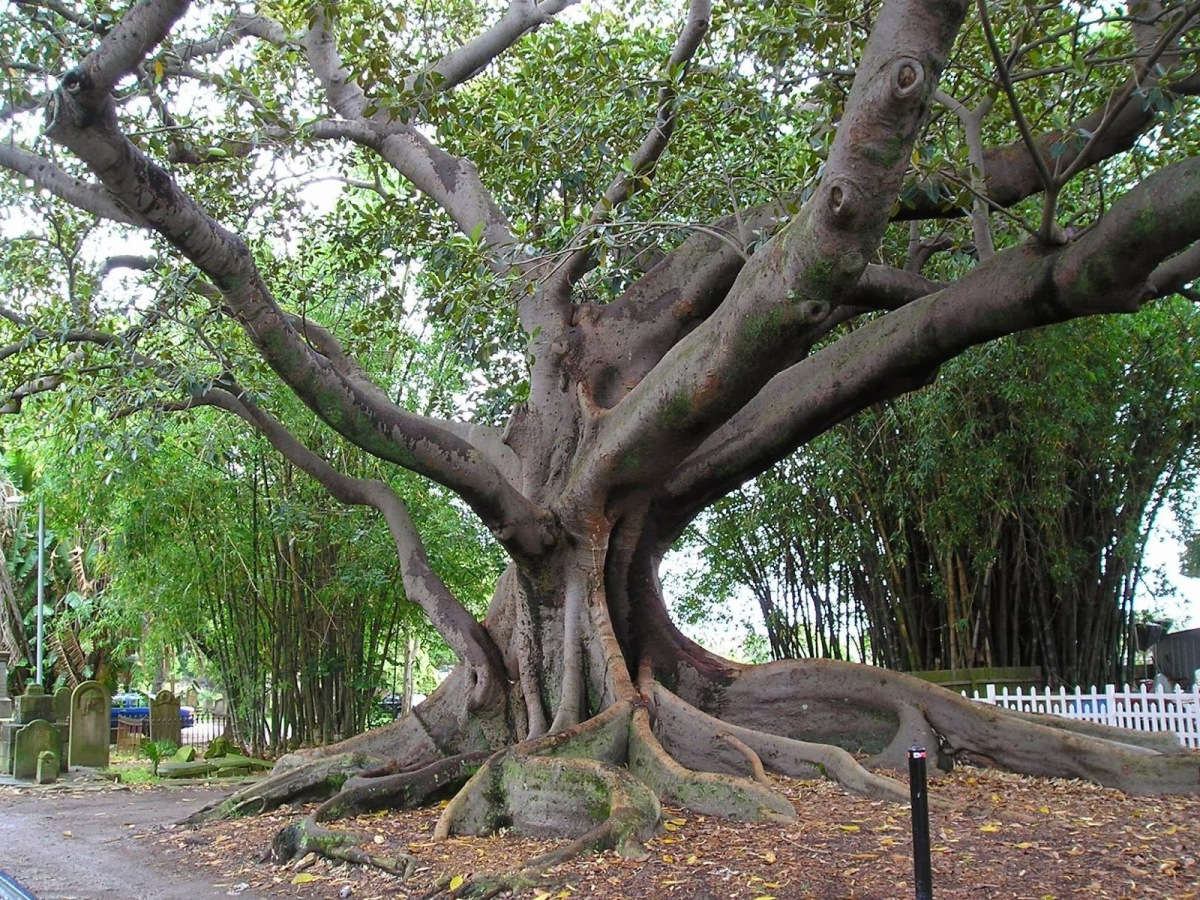 The Sycamore Tree Of Folly Father Gregerson